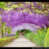 Hanging Purple Garden of Florence, Italy