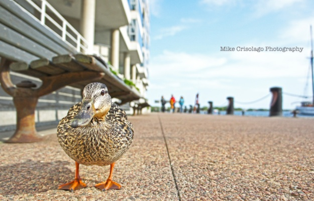 Duck, Toronto, Harbourfront, Mike Crisolago